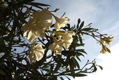 Klokka 19:00 (dese) Tags: kvit white oleanderflowers flowers oleander neriumoleander blomstrar july23 2018 july232018 earlyevening europa adriahavet adriaticsea adriatic july juli summer sommar ferie croatia kroatia europe dalmatia coast klokka1900 1900 0700pm 07pm 7pm