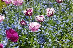 JLF14576 (jlfaurie) Tags: maintenon château castillo palace 22042018 jardin garden tulipes tulipanes tulips mechas gladys amigos friends michel magda sergio primavera printemps pentaxk5ii mpmdf jlfr jlfaurie spring flowers flores fleurs agua eau water canal intérieurs interiores inside