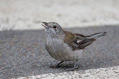 Grey Shrike-thrush (Alan Gutsell) Tags: greyshrikethrush grey shrikethrush shrike thrush lamingtonnationalpark nationalpark nature wildlife bird birding