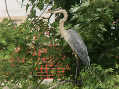 20180810 Great Blue Heron (plumheadedfinch) Tags: birds pelecaniformes ardeidae ardea ardeaherodias greatblueheron pennsylvania month08august 2018