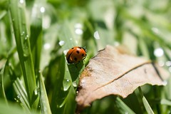Small world (W.Love) Tags: field brownleaf leaf spotty waterdrops raindrops green grass macrophotography macro minibeasts insect beetle red ladybug ladybird
