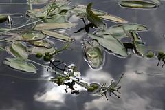 Those Warm Summer Days (arcticbramble) Tags: vesi water kesä summer aurinko sun järvi lake kasvi plant pilvi cloud kesämuistoja