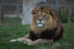 Lion (Smarkmith) Tags: yorkshire wildlife park ywp doncaster camera club canon 6d eos tamron 150600mm 150600 g2 african lion big cat