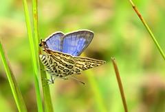 IMG_6185 (mohandep) Tags: hessarghatta lakes karnataka butterflies birding nature wildlife insects signs food