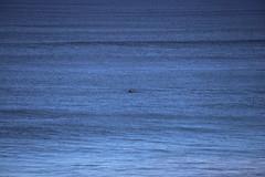 IMG_3662 (gervo1865_2 - LJ Gervasoni) Tags: surfing with whales lady bay warrnambool victoria 2017 ocean sea water waves coast coastal marine wildlife sealife blue photographerljgervasoni