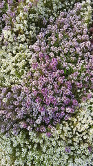 sea of Alyssum (Mamluke) Tags: alyssum flower fleur garden jardin mamluke minnesota summer sea enmasse purple white blume fiore flor plant vegetation flora púrpura purpurrot pourpre purper