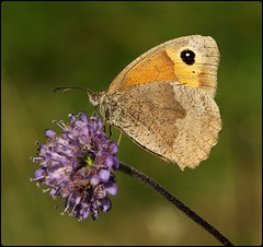 Female Meadow Brown on Devilsbit Scabious (glostopcat) Tags: meadowbrownbutterfly butterfly insect invertebrate summer august macro glos butterflyconservation prestburyhillnaturereserve devilsbitscabious wildflower