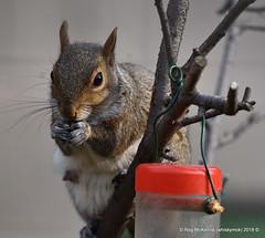 05-DSC_0536 - Grey Squirrel (Sciurus carolinensis) (whiskymac) Tags: greysquirrel sciuruscarolinensis rodent squirrel treerabbit wildlife nature mammal animal