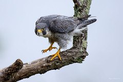 Peregrine Falcon Talons (Eugene Lagana) Tags: peregrine falcon raptor new jersey stateline lookout wildlife nature outdoors talon hawk