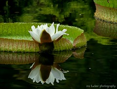 Nobody's perfect, and our fondest memories of anyone.... (itucker, thanks for 4.5+ million views!) Tags: macro bokeh lily waterlily green hggt dukegardens