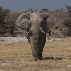 Eléphant ( Philippe L PhotoGraphy ) Tags: afrique namibie oshikotoregion na afric philippelphotography rapace oiseaux elephan réserve pentax k1