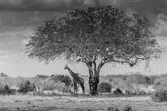 Massai Giraffe / B&W (DavidGoovaerts) Tags: masaigiraffe eastafrica eos1dx kenya sp150600g2 zoogdieren dieren evenhoevigen africa camera tamron giraffe canon lens tsavoeastnp world animal animalplanet animals artiodactyla giraffacamelopardalistippelskirchi giraffacamelopardlis giraffatippelskirchi giraffidea mammals sp150600mmf563divcusdg2a022 eventoedungulates kilimanjarogiraffe mamalia mammal masaigiraf