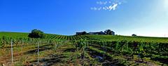 En attente des vendanges (Diegojack) Tags: vaud suisse echandens d500 nikon nikonpassion paysages panorama domaine abbesses vignes vins vendanges yion ation de ce groupenuagesetciel