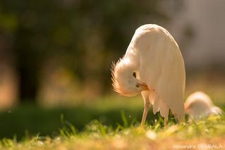 Cattle Egret (2)  [explored]