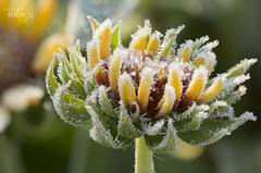 Frigid Foretaste (Karl's Gal) Tags: frigid frost flower frosty latesummer karlsgal gailardia