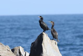 European Shag - Phalacrocorax aristotelis - Cabo Matxitxako, Bermeo, Bizkaia, Spain - September 17, 2018