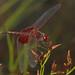 Amanda's Pennant - Celithemis amanda, Carolina Sandhills National Wildlife Refuge, McBee, South Carolina