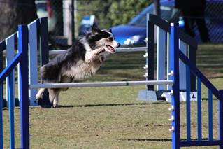 South Canterbury Dog Training Club Agility Ribbon Trial