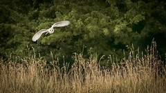 Barn Owl Hunting (Iain.H) Tags: owl evening birdofprey bird wildlife wild yorkshire england uk nature white yellow hunting flight barnowl telephoto zoom canon5diii sigma150600