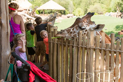 _MGL2440.jpg (shutterbugdancer) Tags: reticulatedgiraffe africansavanna fortworthzoo giraffe