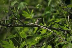 IMG_0452 (davekremitzki) Tags: hummingbird lincoln memorial garden illinois