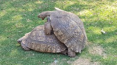 Tortoises Mating (Rckr88) Tags: tortoises mating tortoisesmating tortoise tortoisemating mate reptile reptiles animal animals sex nature johannesburg southafrica south africa outdoors outdoor