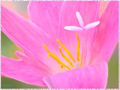 At the Heart of Beauty - MM - Theme-Defining Beauty (LOVE.OVER.LUST.) Tags: mm macromondays definingbeauty zephyranthesrosea cubanzephyrlily rosyrainlily rosefairylily rosezephyrlily pinkrainlily stamen anther pollen yellow white bokeh sundaylights