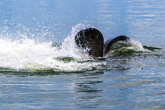 Mating Manatees High Fiving with Their Tails (dbadair) Tags: outdoor seaside shore sea sky water nature wildlife 7dm2 ocean canon florida ft desoto