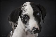 Peixe (Marijke M2011) Tags: catahoulaleoparddog puppy dog dogportrait petportrait animal petindoor innocence friend love patience studiolightning hond hondenportret huisdier studio cute onschuld amsterdam thenetherlands
