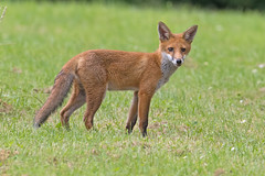 Fox (drbut) Tags: fox vulpesvulpes mamal wildlife nature canonef500f4lisusm