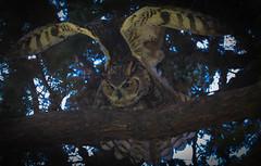 Great Horned Owl Santa Monica Woodlawn Cemetery data fixed I hope-150 (pekabo90401) Tags: greathornedowl bubovirginianus búhoamericano grandducdamérique lightroomprocessingrescue pekabo90401 birdwatching birdwatchinglosangeles southerncaliforniabirds owl woodlawncemeterybirds santamonicawoodlawncemetery cemeterymonkey wesen vogel lightroom lind canon camaraderie 80d canon80d 100400 wonkycamerasettings friendship fugl avem chim フクロウ 猫头鹰 uil eule gufo κουκουβάγια kohuru جغد сова นกฮูก concú minimalcropwewerethatclose isodisappoint