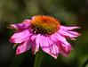 Flower (LuckyMeyer) Tags: flower fleur blume blüte pink rosa green