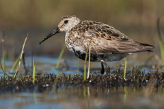Dunlin Calidris alpina (janmangorfagerland) Tags: animal birds bird birdphoto bokeh birdsgallery birding birdsofnorway blue black brown colours calidris d800e dephtoffield distinguishedbirds dof 300mmvrii28g fagerland field fugler flickr fuglebilder fjell fauna gallery green grass g hardangervidda jan janfagerland janmangorfagerland light dunlin mountain mangor myr norway nature nikon norge natur nikkor outdoor ornithology photography photo tc14eiii wildlife white wildbirds water wader