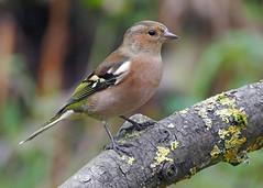 Chaffinch (eric robb niven) Tags: ericrobbniven scotland dundee chaffinches wildlife wildbird nature scottish chaffinch springwatch