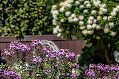 Tree Hydrangea & Cleome (Dotsy McCurly) Tags: yard flowers plants treehydrangea cleome lavender white blooms blooming nature beautiful nj newjersey canoneos80d efs35mmf28macroisstm
