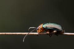 Sermylassa halensis (makis') Tags: beetle chrysomelidae coleoptera insect green animal macro makro closeup canon 60mm zerene stack autumn lithuania polyphaga