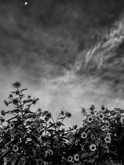 (Mr. Tailwagger) Tags: leica m10 summilux 50mm bc asph tailwagger sunflowers moon clouds