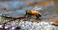 Fountain Drink (dianne_stankiewicz) Tags: bee drink fountain water bokeh nature wildlife
