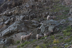 "Bighorn Sheep • <a style=""font-size:0.8em;"" href=""http://www.flickr.com/photos/63501323@N07/29688848527/"" target=""_blank"">View on Flickr</a>"