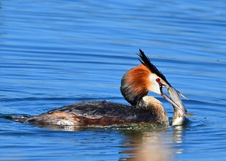 Grebe with a Pike