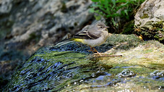 a Wagtail on a waterfall (Franck Zumella) Tags: wagtail bergeronnette bird oiseau nature waterfall wildlife yellow jaune chute eau water lake lac shadow light ombre lumiere lumière