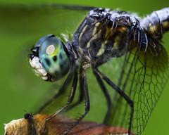 DragonFly_SAF4116 (sara97) Tags: odonata copyright©2018saraannefinke dragonfly insect missouri mosquitohawk nature photobysaraannefinke predator saintlouis towergrovepark