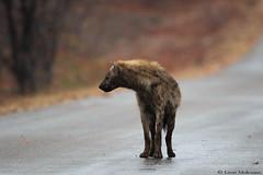 The morning after (leendert3) Tags: leonmolenaar southafrica krugernationalpark wildlife nature mammals spottedhyena ngc npc coth coth5 naturethroughthelens