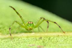 Crab spider (Thomisidae) - DSC_2321 (nickybay) Tags: africa madagascar macro andasibe mitsinjo crab spider thomisidae