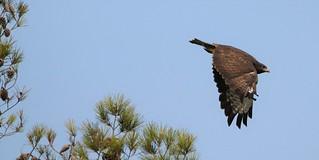 Àguia-de-asa-redonda - (Buteo buteo) - Common buzzard