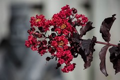 Bursting In Air......A Little Top Heavy (ACEZandEIGHTZ) Tags: flower crape myrtle bokeh nikon d3200 closeup red garden coth alittlebeauty coth5 sunray5