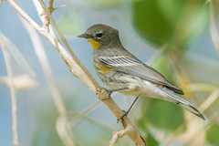 Yellow-rumped Warbler, Audubon's (Setophaga coronata auduboni) (byjcb) Tags: warbler birds