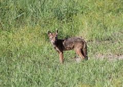 coyote (Canis latrans (im2fast4u2c) Tags: coyote canis latrans sheldonlakestatepark canine animal wildlife