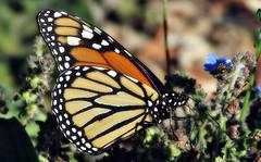 Quaffing (TJ Gehling) Tags: insect lepidoptera butterfly nymphalidae monarch monarchbutterfly danaus danausplexippus baxtercreekgatewaypark ohlonegreenway elcerrito