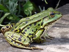 Frosch (Proteus_XYZ) Tags: deutschland germany bayern bavaria erlangen botanischergarten botanicalgarden frosch frog